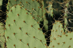 Prickly Pear Cactus Spines Stock Image