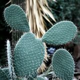 Prickly Pear Cactus, Succulent Plant Background stock photos