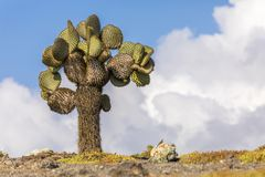 Prickly Pear Cactus Tree and Galapagos Land Iguana stock photo