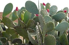Prickly pear cactus tree with red fruit and green pad with some damage, Opuntia. Prickly pear cactus tree with red fruit and green pad with some damage pads stock images
