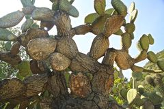 Prickly Pear cactus. Tree size prickly pear cactus Royalty Free Stock Photo