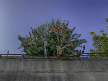 Prickly pear cactus. On the wall Royalty Free Stock Photo