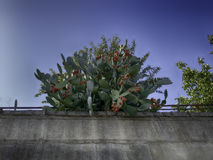 Prickly pear cactus. On the wall Stock Photos