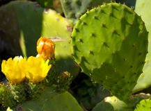 Prickly pear cactus with yellow flowers Stock Photos