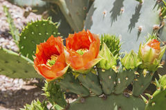 Prickly pear castus orange blossoms Stock Photo