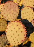 Prickly Pear Close-Up Stock Image