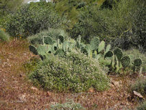 Prickly Pear and Desert Flora Stock Image