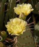 Prickly pear flower 3. Delicate and ephemeral cactus flower blooming in my hypo-allergenic garden Stock Photography