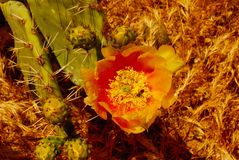 Prickly pear. Flower bee cactus Stock Image
