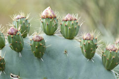 Prickly pear flower buds Royalty Free Stock Photography