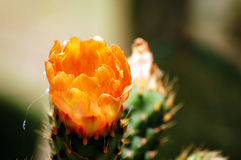 Prickly pear flower Royalty Free Stock Image