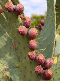 Prickly Pear Fruit Detail Royalty Free Stock Photo