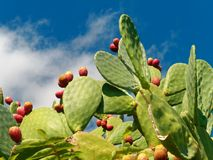 Prickly pear fruit and plant blue sky. Prickly pear fruit and plant against blue sky stock photo