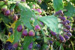 Prickly Pear Fruit Stock Photos