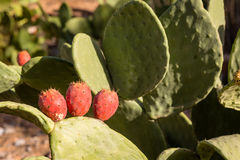 Prickly pear fruits on stony slopes in Moroccan mountains Stock Photo