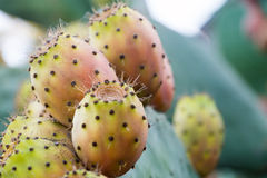 Prickly Pear Stock Image