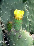 Prickly pear growing on cactus plant. tropical fruit. Royalty Free Stock Images