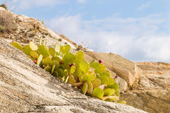 Prickly pear, optunia, indian fig with some fruits Stock Photography