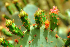 Prickly Pear Opuntieae Opuntia Royalty Free Stock Photo