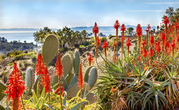 Prickly Pear Orange Aloe Cactus Morning Pacific Ocean Landscape Royalty Free Stock Photography