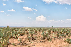 Prickly pear orchard Stock Image