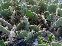 The prickly pear or paddle cactus Royalty Free Stock Images