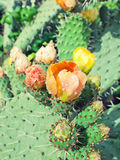 Prickly pear plant (cactus) in blossom after rain Stock Photo