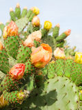 Prickly pear plant (cactus) in blossom after rain Stock Image