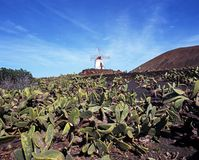 Prickly pear plants, Lanzarote. Royalty Free Stock Photos