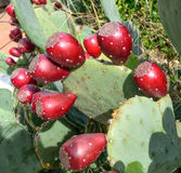 Prickly Pear Stock Photos