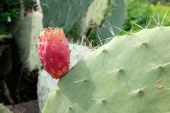 Prickly pear red bud. Stock Photos