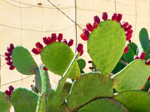 Prickly pear with red fruits Stock Photography