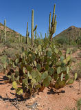 Prickly pear and saguaro cactuses Stock Photos