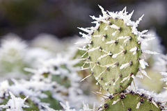 Prickly Pear in Snow Stock Photo