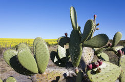 Prickly Pear, South Africa Royalty Free Stock Photography