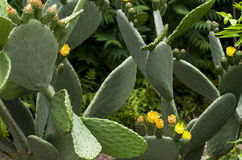 Prickly pear tree with buds and flowers in spring. Stock Photography