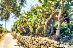 Prickly pear trees Royalty Free Stock Images