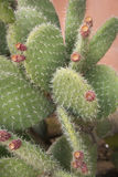 Prickly pear very thorny Royalty Free Stock Photography
