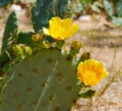 Prickly Pear Yellow Flowering Cactus. Flowering cactus brightens the arid desert landscape Stock Photo