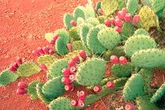 prickly pears Fotografering för Bildbyråer