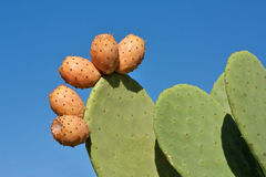 Prickly Pears Against Blue Sky. Prickly pear cactus plant and fruit against blue sky royalty free stock images