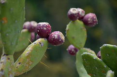 Prickly Pears Cactus fruits. Close-up photo os some Prickly Pears Cactus fruits Stock Photography