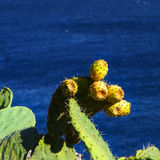 Prickly pears. Cactus with fruits; Mediterranean sea in the background Stock Images