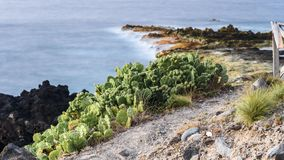 Prickly pears at the coastline. Landscape of the rocky seaside in azores with Prickly pears. portugal stock photo