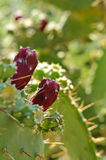 Prickly pears fruits on a paddle cactus (Opuntia) Stock Photography
