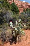 Green prickly pears. Prickly pears, with fruits, USA, Arizona royalty free stock images