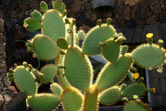 Prickly pears Royalty Free Stock Image