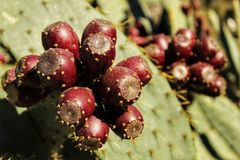 Prickly pears growing in the cactus Royalty Free Stock Photos