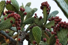 Prickly pears growing in the cactus Stock Photos