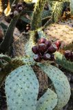 Prickly pears growing in the cactus Stock Image